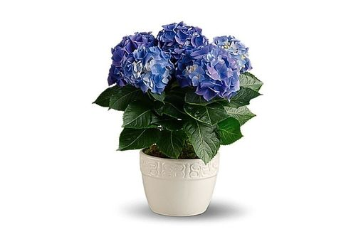 Potted Blue Hydrangea