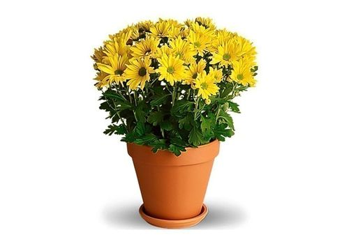 Potted Daisy Flowers